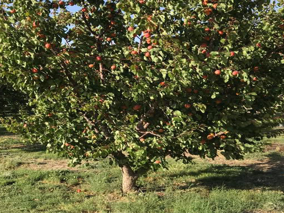Tenerelli Orchards